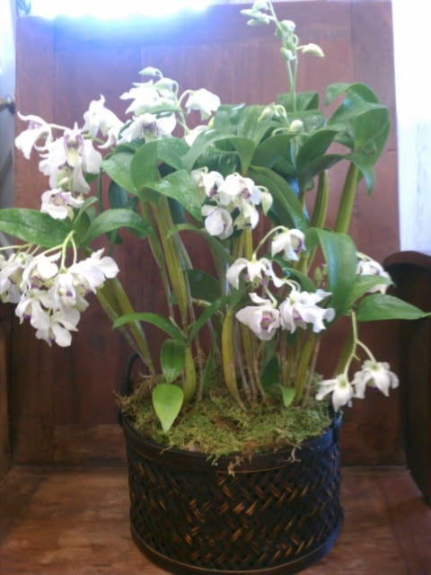 Orchids in Decorative Pots – Ready for Shipping or Delivery